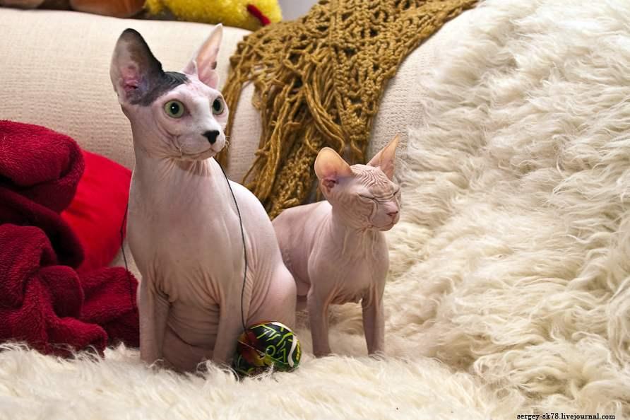 uska maca kineski